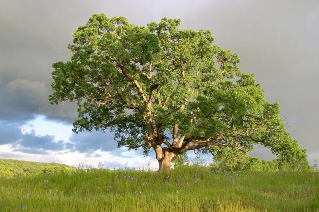 oak-tree-1533427-1278x852