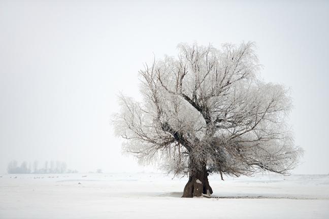 Beautiful oak tree winter on winter time